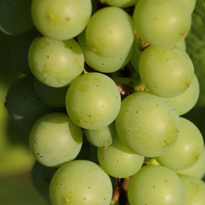 grappe raisin jeune