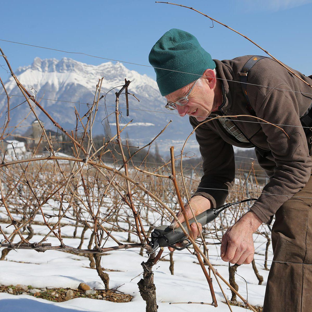 janvier taille vignes grisard
