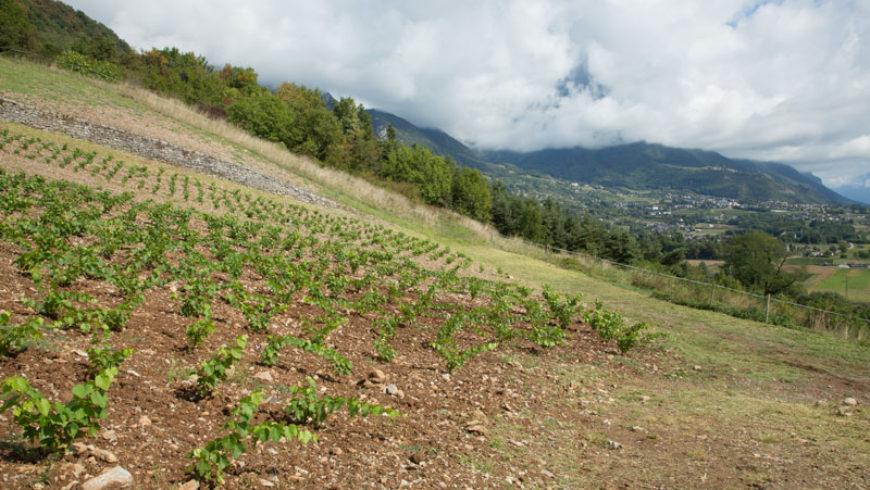 La vigne, un travail de préparation à long terme !
