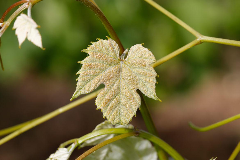 Jeunes-feuilles-Mondeuse.jpg
